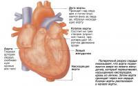 Поперечный разрез сердца