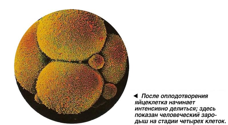 После оплодотворения яйцеклетка начинает интенсивно делиться
