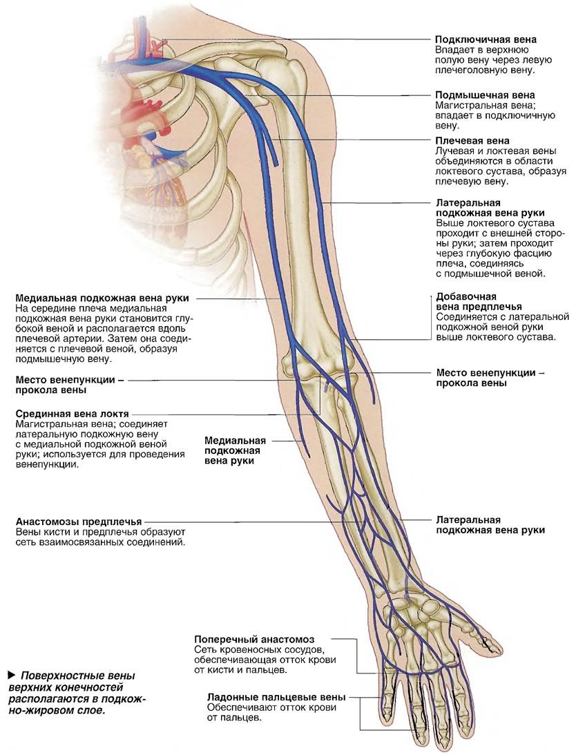 Поверхностные вены верхних конечностей располагаются в подкожно-жировом слое