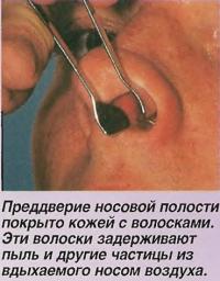 Преддверие носовой полости покрыто кожей с волосками