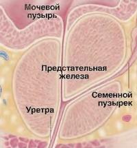 Предстательная железа выделяет секрет — составную часть спермы