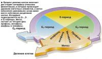 Процесс деления клетки включает две стадии: интерфазу и митоз
