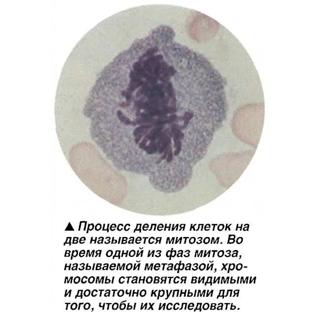 Процесс деления клеток на две называется митозом