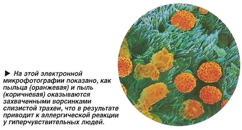 Пыльца и пыль оказываются захваченными ворсинками слизистой трахеи