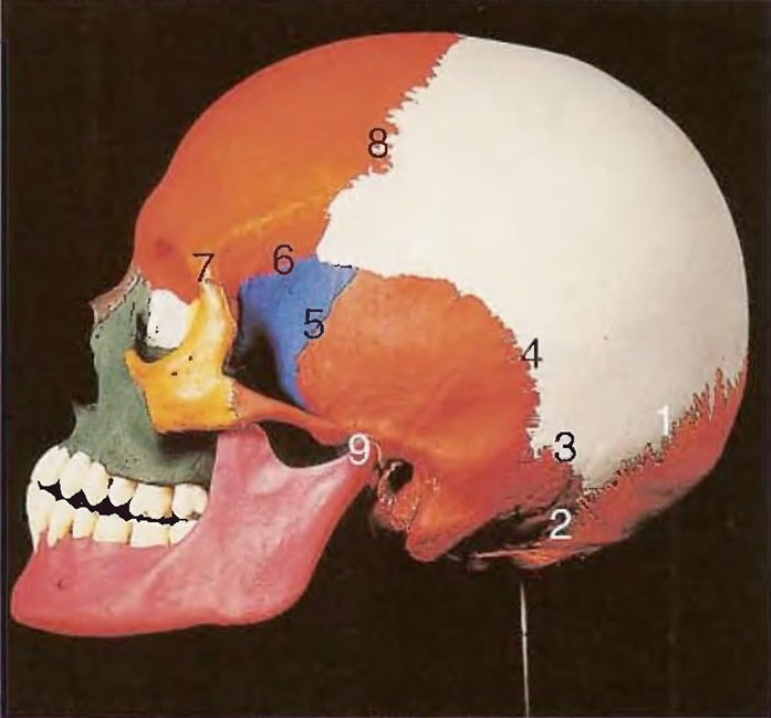 Расположение 11 главных костей и швов, которые соединяют их