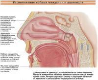 Расположение небных миндалин и аденоидов
