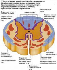Расположение проводящих путей в спинном мозге