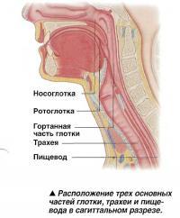 Расположение трех основных частей глотки