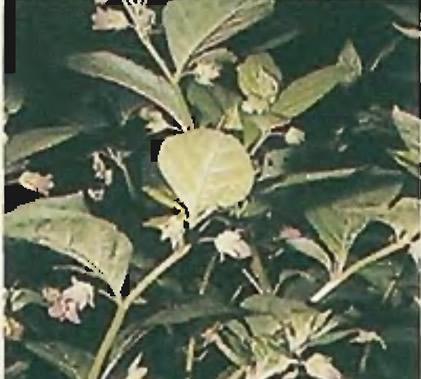 Растения этого семейства содержат несколько токсичных алкалоидов