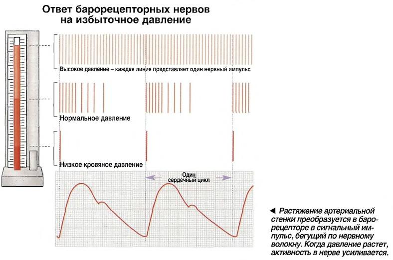 Растяжение артериальной стенки преобразуется в барорецепторе в сигнальный импульс