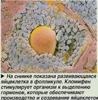 Развивающаяся яйцеклетка в фолликуле