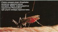 Самка комара рода Anopheles