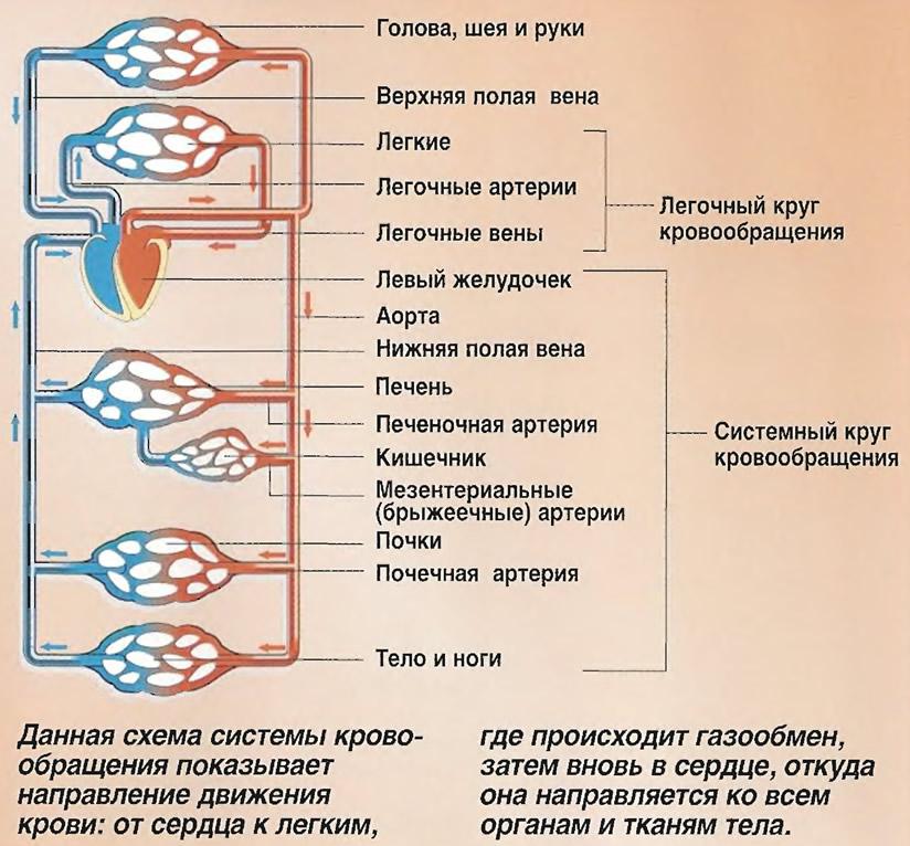 Схема системы кровообращения
