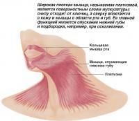 Широкая плоская мышца платизма