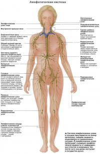 Система лимфатических узлов и сосудов простирается по всему организму