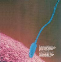 Сперматозоид (синий цвет) готов проникнуть в яйцеклетку (розовая)