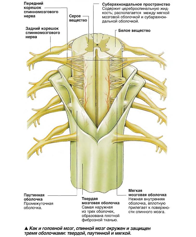 спинной мозг окружен и защищен тремя оболочками: твердой, паутинной и мягкой