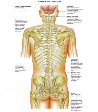 Спинной мозг, вид сзади