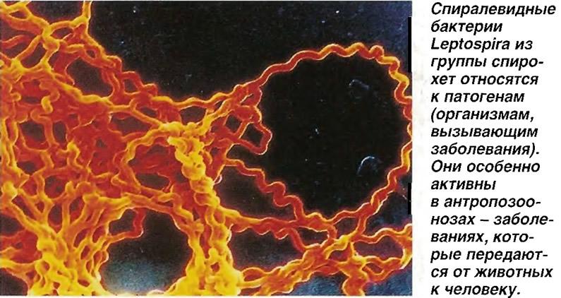 Спиралевидные бактерии Leptospira из группы спирохет