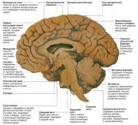 Срез головного мозга