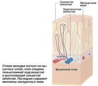 Стенка желудка состоит из мышечных слоев