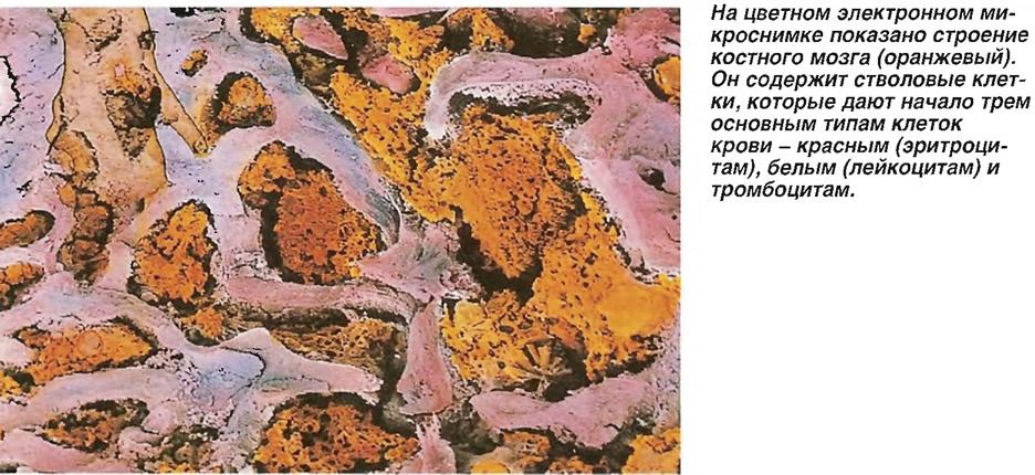 Строение костного мозга (оранжевый)