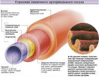 Строение типичного артериального сосуда