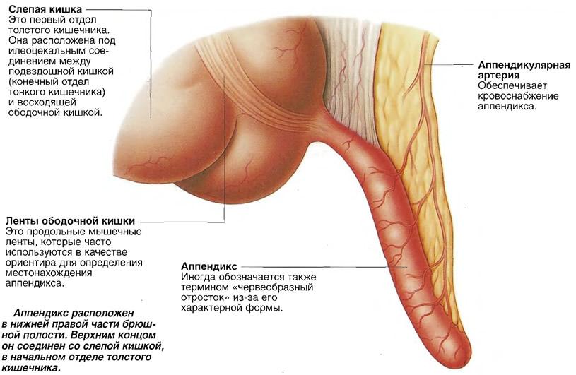 Структура и расположение аппендикса