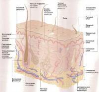 Структура кожи