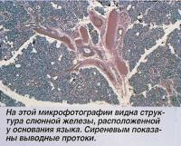 Структура слюнной железы, расположенной у основания языка
