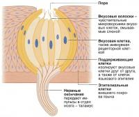 Структура вкусового рецептора
