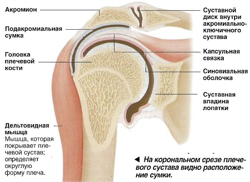 Сумки плечевого сустава где найти кальций из жемчуга для суставов