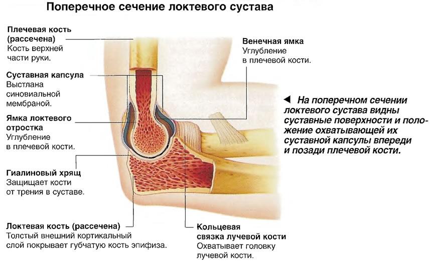 Суставные поверхности и положение охватывающей их суставной капсулы