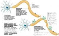 Сверху показана нормальная нервная оболочка, а справа - демиелинизированная