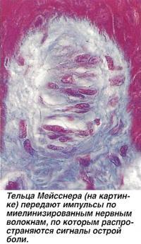 Тельца Мейсснера передают импульсы по миелинизированным нервным волокнам