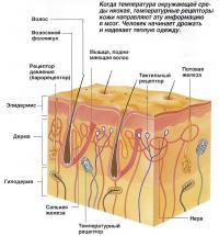 Температурные рецепторы кожи