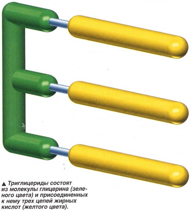 Триглицериды состоят из молекулы глицерина и присоединенных к нему трех цепей жирных кислот
