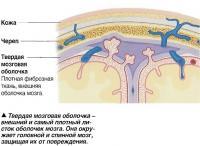 Твердая мозговая оболочка - внешний и самый плотный листок оболочек мозга