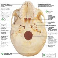 Устройство основания черепа