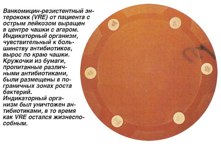 Ванкомицин-резистентный энтерококк от пациента выращен в центре чашки с агаром