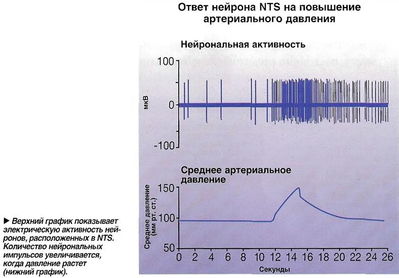 Верхний график показывает электрическую активность нейронов, расположенных в NTS