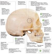 Вид черепа человека снаружи