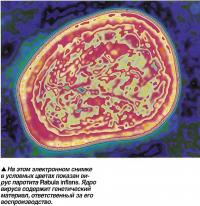 Вирус паротита Rabula inflans.