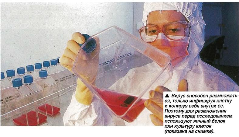 Вирус способен размножаться, только инфицируя клетку и копируя себя внутри ее