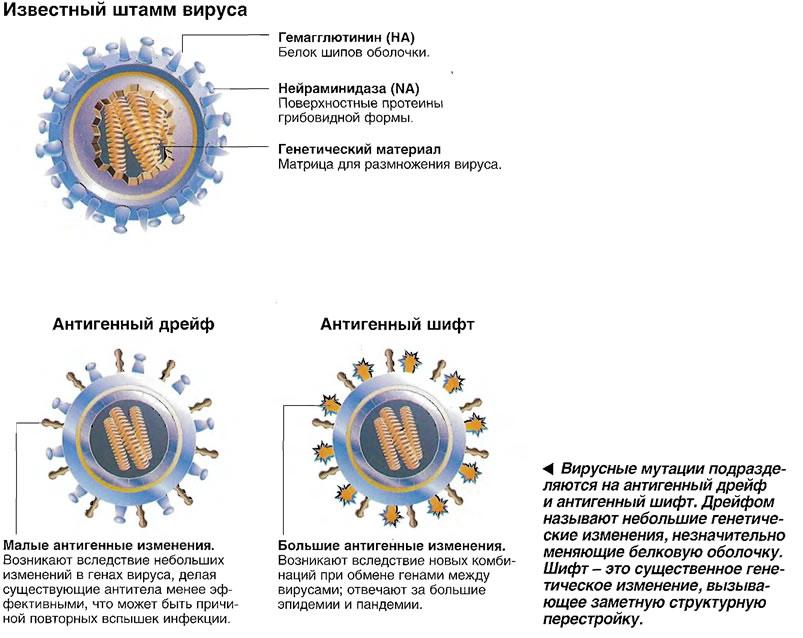 Вирусные мутации подразделяются на антигенный дрейф и антигенный шифт