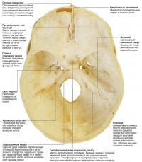Внутреннее строение черепа в деталях