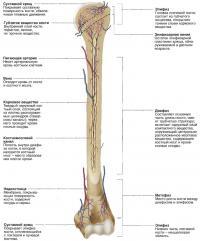 Внутреннее строение плечевой кости