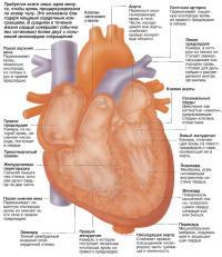 Внутреннее строение сердца