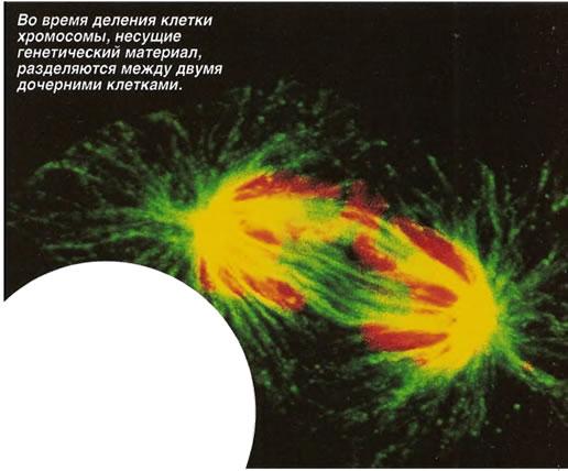 Во время деления клетки хромосомы, разделяются между двумя дочерними клетками
