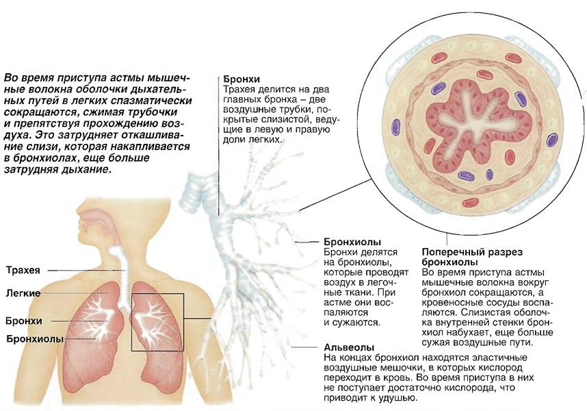 Во время приступа астмы